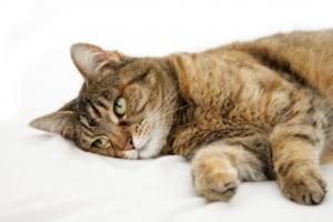 Гипертрофическая кардиомиопатия – как часто встречается у кошки, особенности болезни, лечение