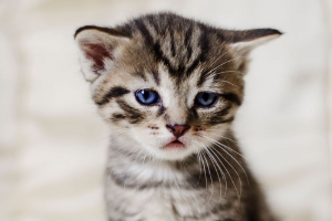 гипертрофическая кардиомиопатия у котенка