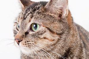кашель у кота