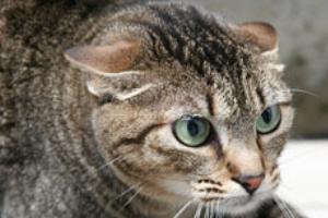 кошка прижимает уши к голове и ложится