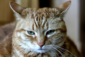 кошка прижимает уши назад