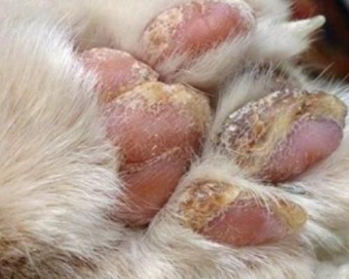 листовидная пузырчатка у кошки на лапах