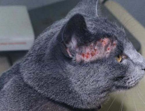 листовидная пузырчатка у кота