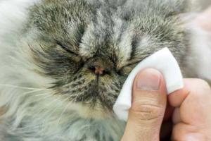 Как выбрать хороший лосьон для глаз для кошки?