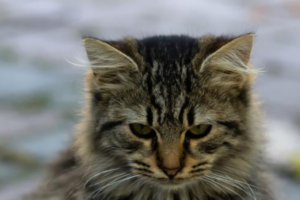 Почему у кошки развилась ложная беременность?