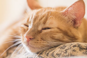 ложная беременность у кошки помощь