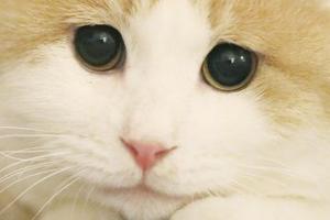 ложная беременность у кошки признаки