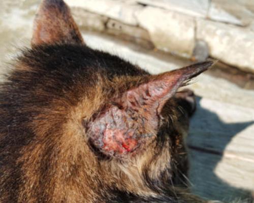 пиодермия у кота