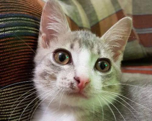 пиодермия у котика