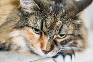 пиометра у кошек симптомы