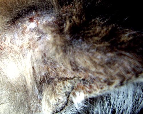 сухие болячки на ушах у кошки
