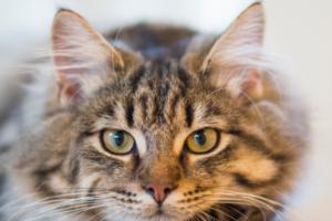 Естественные и патологические причины горячих ушей у кошек