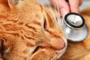 вирусный лейкоз у кошки