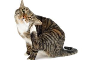 аллергический отит у кошки
