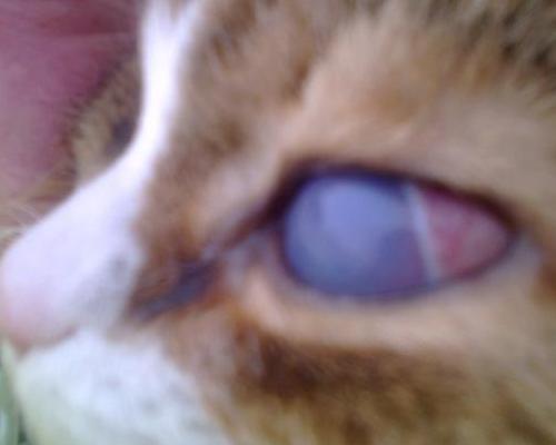 белая пленка на глазу у котенка