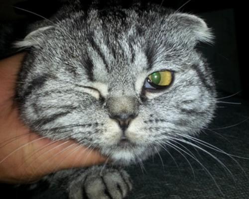 белая пленка на глазу в углу у кошки