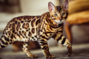 Что нужно знать про бенгальских кошек?