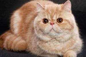 Насколько привередливы в содержании кошки породы экзот?
