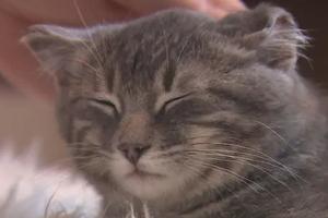 кошка обморозила уши и они обвисли