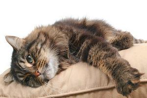кошка волочит задние лапы и кричит