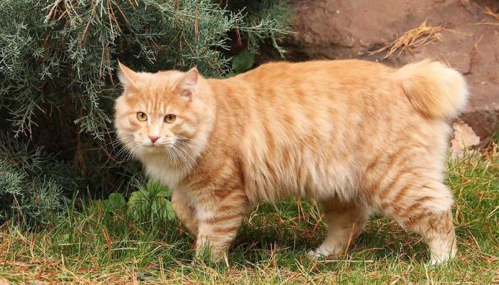 курильский бобтейл кот