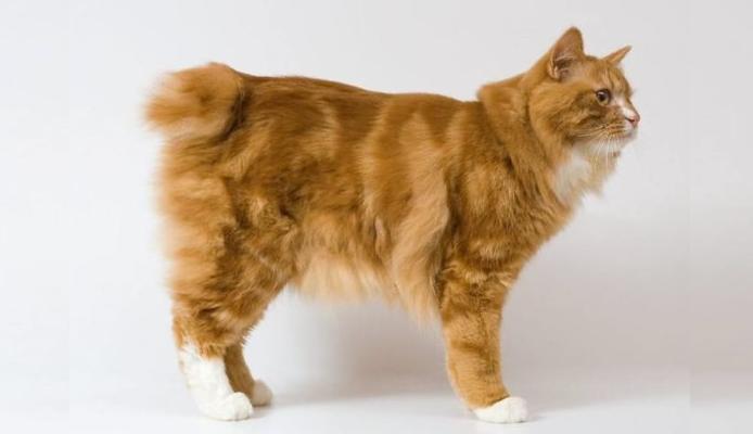 курильский бобтейл котенок