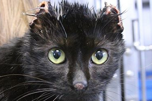 обморожение ушей у кошки