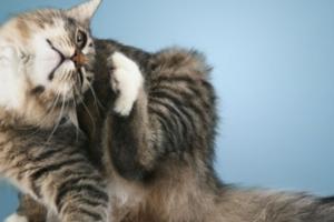 Как проявляется отит у кошек?