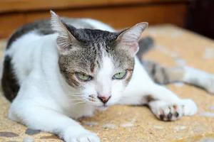 панкреатит у кошки симптомы