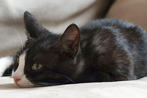 панкреатит у кота