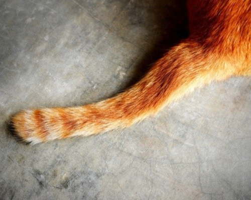 распух хвост у кошки