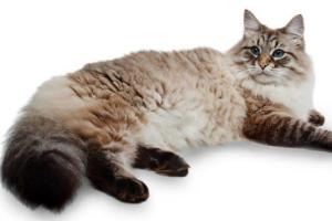 Какой характер у сибирских кошек?