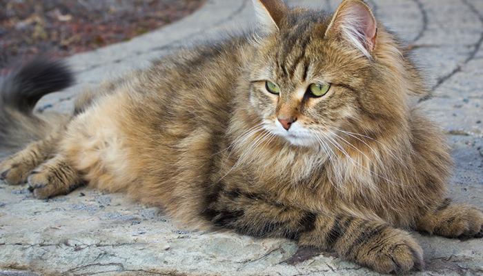 сибирский котик