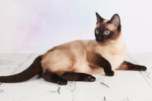 Как ухаживать за тайскими кошками?