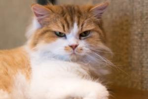 Токсоплазмоз у кошки — как проявляется заболевание?