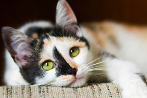 токсоплазмоз у кота