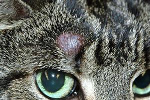 у кошки лысое красное пятно над глазом