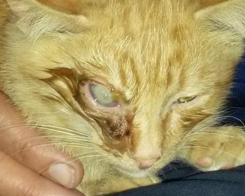у котенка загноился глаз