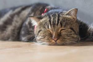 вялость у кошки после прививки