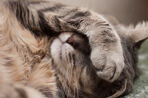 вялость у кошки после течки
