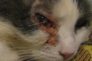 Чем опасна язва роговицы для кошек?