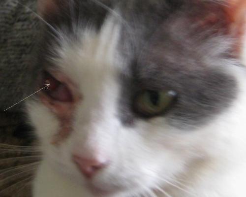 язва роговицы у кота