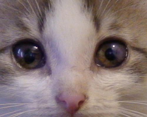 язва роговицы у котенка
