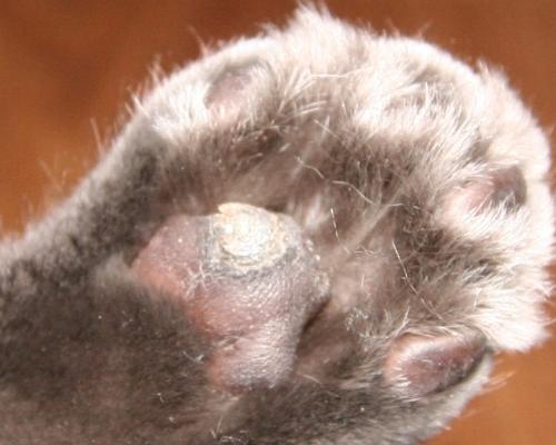 у кошки корки на лапках