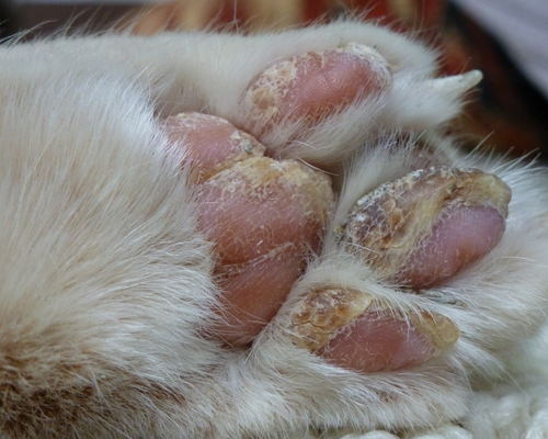 у кошки корочки на лапках