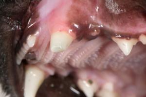 у кошки откололся зуб