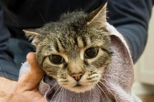у кошки пропал голос и ее тошнит