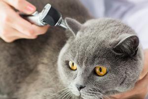 у кошки течет из уха и воняет