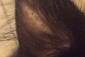 у кошки появились залысины на ушах