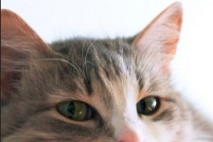 у кошки сыпь на ушках